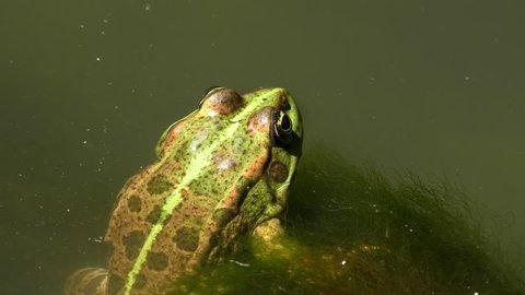 Lake Frog or Marsh frog (Pelophylax ridibundus) on an aquatic plant, wide shot.