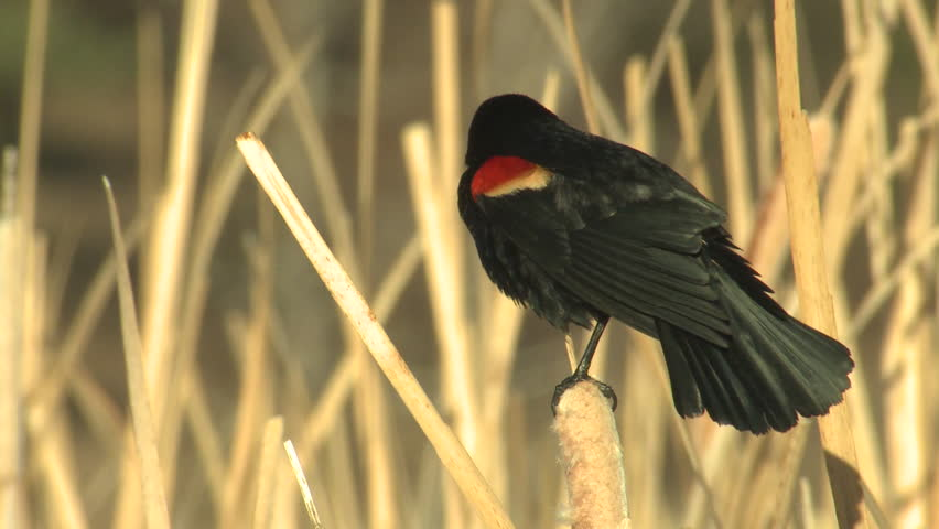 Red-winged Blackbird Male Adult Lone Calling in Spring in South Dakota