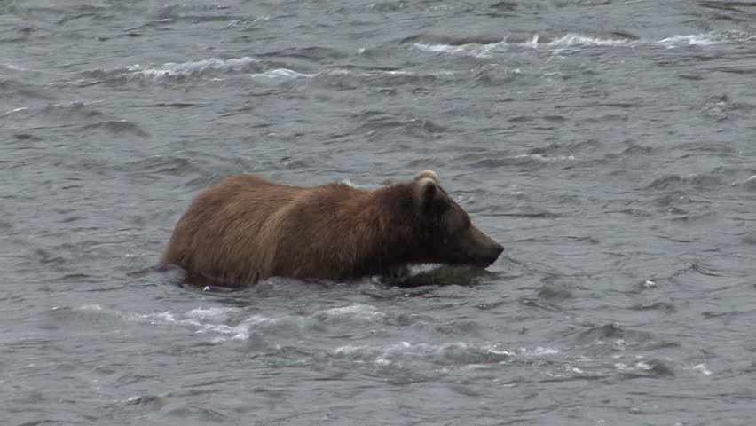 Brown Bear Adult Lone Running Splashing Fishing in Summer in Alaska