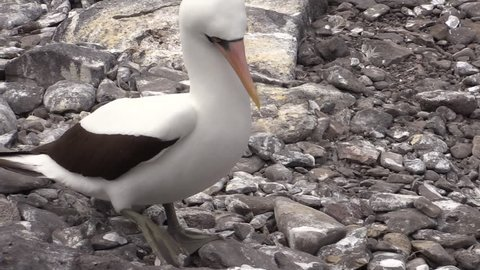 Nazca Booby Male Female Adult Pair in Fall Masked in Ecuador