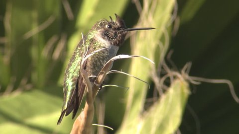 Annas Hummingbird Male Lone Resting in California
