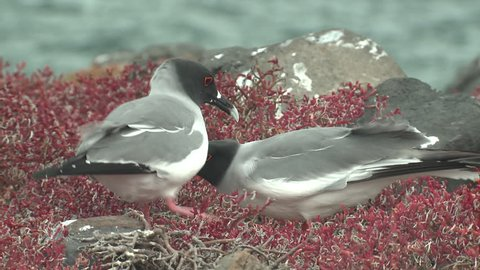 Swallow-tailed Gull Male Female Adult Pair Gulls Mating Sex Reproduction in Winter Courtship Sex in Ecuador