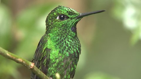 Green-crowned Brilliant Hummingbird Male Adult in Costa Rica
