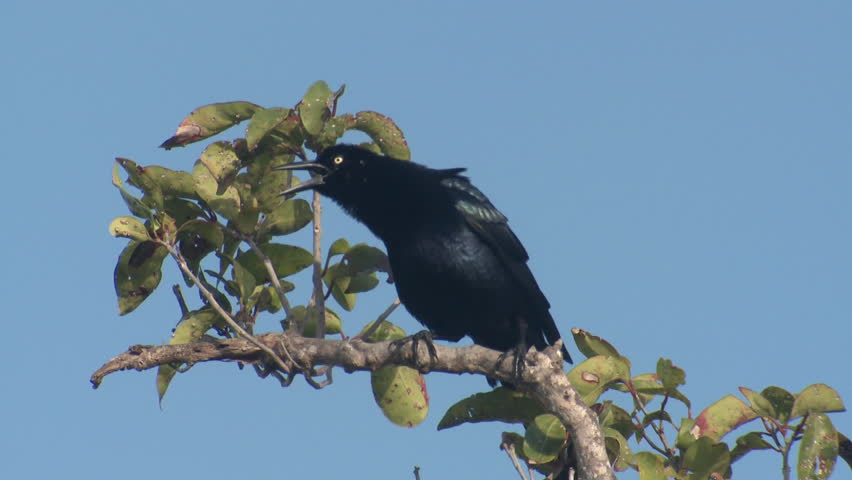 Great-tailed Grackle Adult Lone Calling in Spring Mexican in Belize