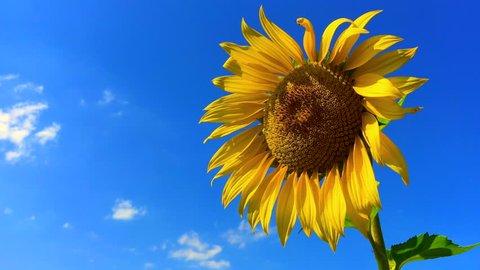 Sunflower Isolated Against A Blue Sky