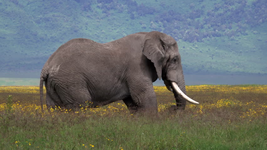 african elephant bull standing in a field of Flowers, Landscape Ngorongoro Crater, Serengeti, Tanzania, Africa, Smooth and stable 4 K footage.
