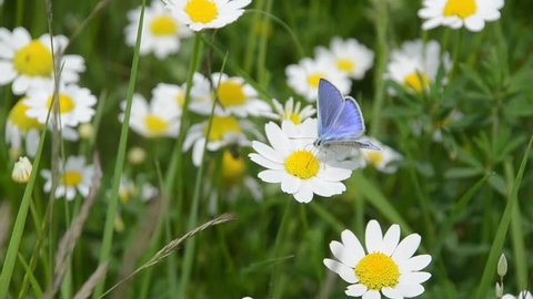 Butterfly on flower. Landscape with blooming yellow flowers on field. Daisy, Bellis perennis. Blooming wildflowers on meadow in spring. Storm cloud over the blooming field. Field of flowers.