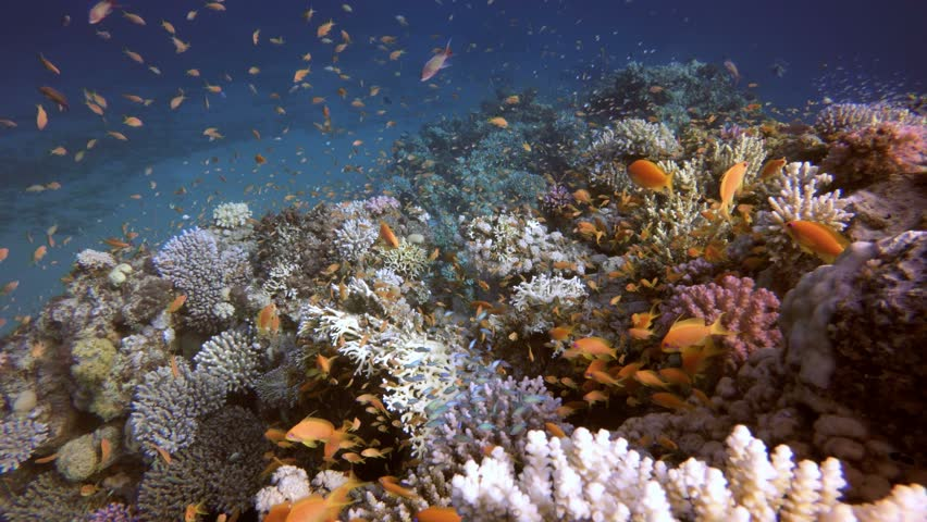 Tropical Coral Reef. Picture of a beautiful underwater colorful fishes and corals in the tropical reef of the Red Sea Dahab Egypt.
