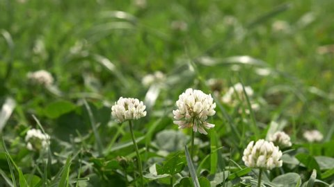 White clover flowers field. Clover field in the garden in the wind. 4k,