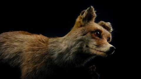 Passing Stuffed Fox Taxidermy Display