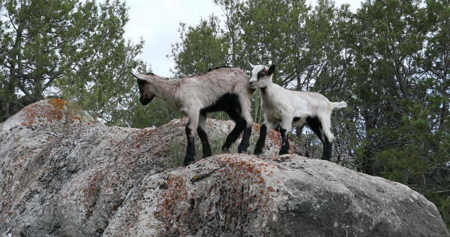 Baby goats tall mountain rock cliff. Pet Baby goats of kids playing in mountain landscape. Rocks, ledges, cliff, forest and waterfall streams. Playful wildlife or livestock. Nature scenic life.
