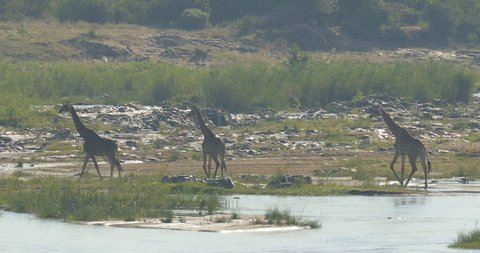 Giraffe crossing the river water, evening light, South Africa. Wildlife scene from African nature. Herd of big animals.