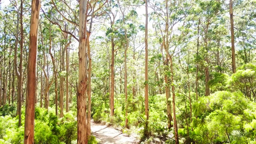 Geren forest of Western Australia | Shutterstock HD Video #1011865820