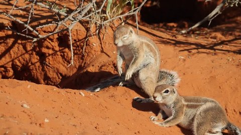 Ground Squirrels playing in the red sand of the Kalahari Desert in South Africa and Botswana