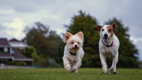 Yorkshire Terrier and Jack Russell running in super slow motion (close-up)