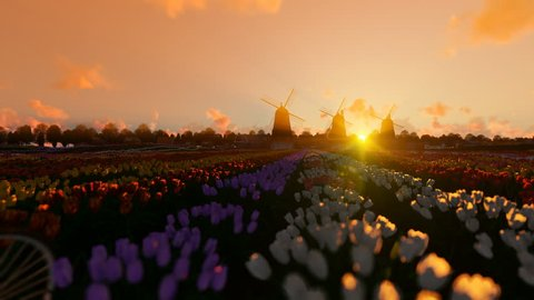 Dutch windmills and man ridding bike on a field with tulips against beautiful sunrise, 4K