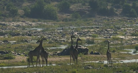 Giraffes in the river water. Herd of big animals. Wildlife scene from South Africa, nature habitat.