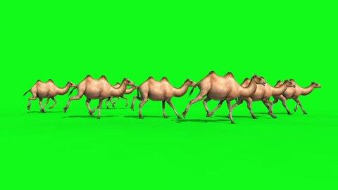 Group of Camels Runcycle Green Screen 3D Renderings Animations Loop