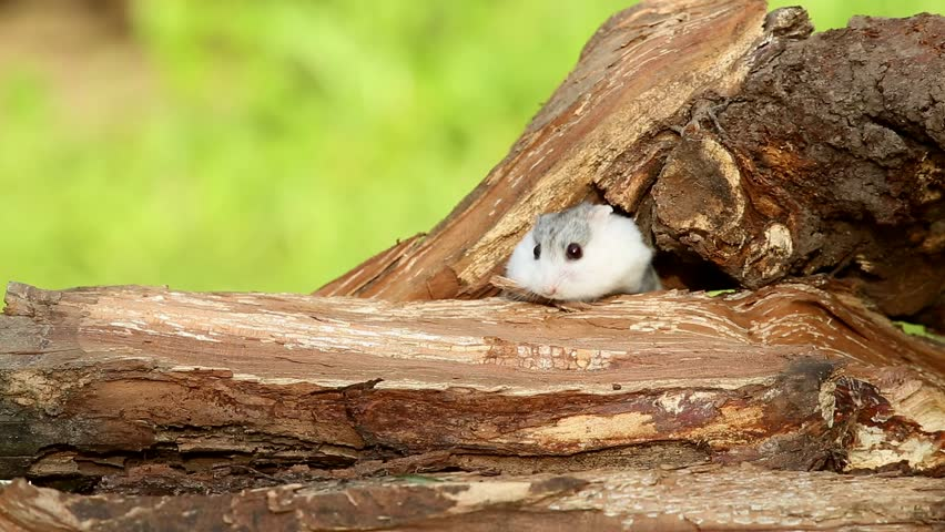 Djungarian hamster (Phodopus sungorus) runs on a tree stump. Dzungarian or striped dwarf or Siberian hamster or Siberian dwarf hamster or Russian winter white dwarf hamster
