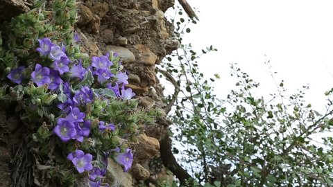 Campanula is the common name of one, two or perennial plants from the family Campanulaceae. It takes its name because its flowers are bell-shaped. Campanula in Latin means little bell.