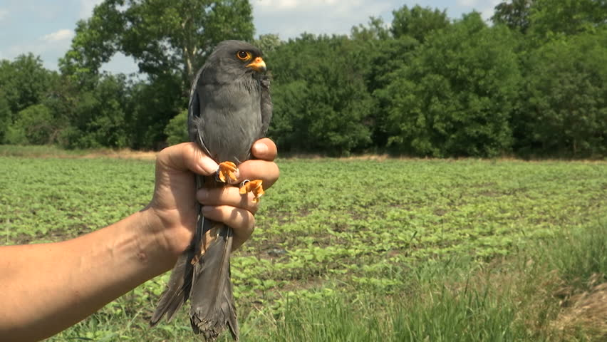Ornithologist holds the bird in the hand