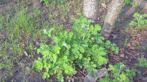 Green bush celandine in the garden