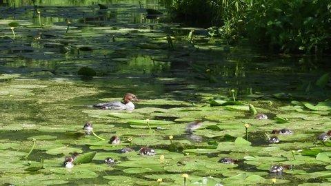 Meganser with chicks in a pond at Drottningholm in Stockholm