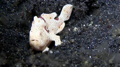 Warty frogfish (Antennarius maculatus) on the sand in the night in Lembeh strait Indonesia