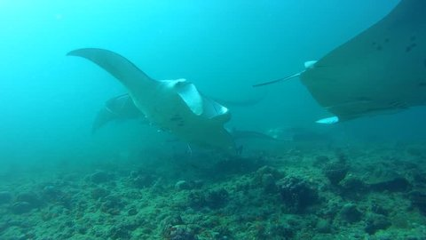Group of Reef Manta Ray swim in blue water - Indian Ocean, Maldives, Asia