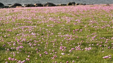 Coastal field full of thrift (Armeria maritima), also known as sea thrift or sea pink.