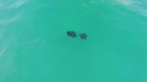 Devil rays swimming off Pensacola Beach, Florida.