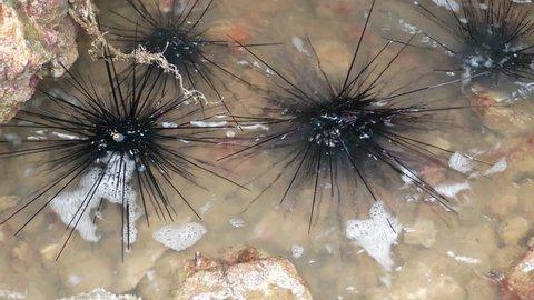 sea urchins at the rocks at sea. Koh Chang, Trat, Thailand