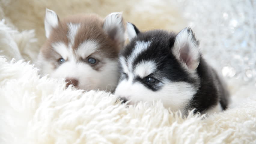 stockvideoklipp på cute siberian husky puppies looking (helt