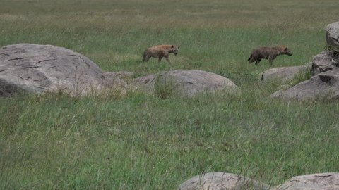 running Hyenas, Serengeti, Tanzania, Africa