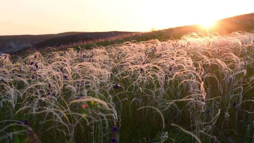 Beautiful feather grass in steppe swaying on wind, stipa. Sunny morning, sunrise