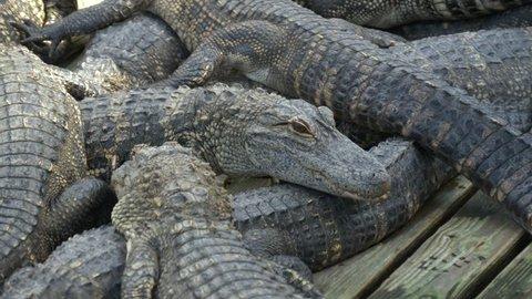 Alligators breeding farm. American Alligator - Alligator mississippiensis. Alligators farm lots of aligators angry background.