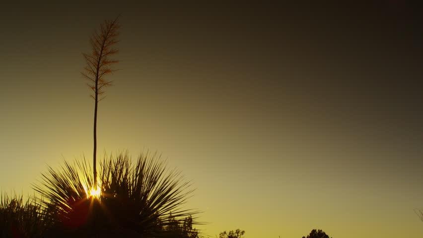Soaptree Yucca in Sonoran Desert Sunset