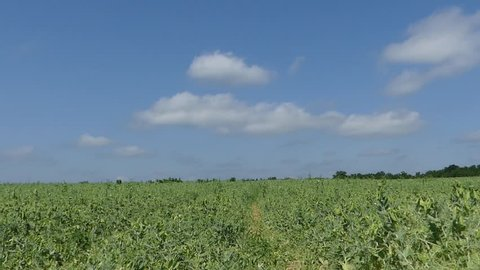 The field is sown with peas. Pea production. Pea field on a bright sunny afternoon.