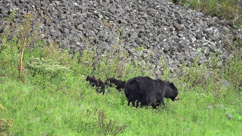 Black bear family in green grassy field wandering the landscape.