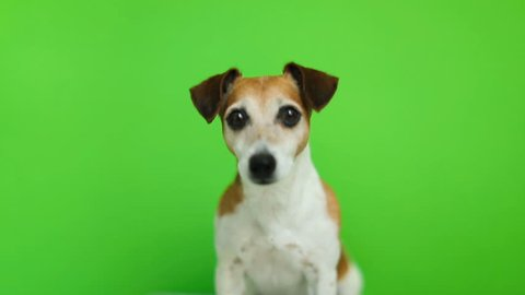 Dog looking to the cam and then leaving. Video footage. Green chroma key background. Lovely white Jack Russell terrier dog