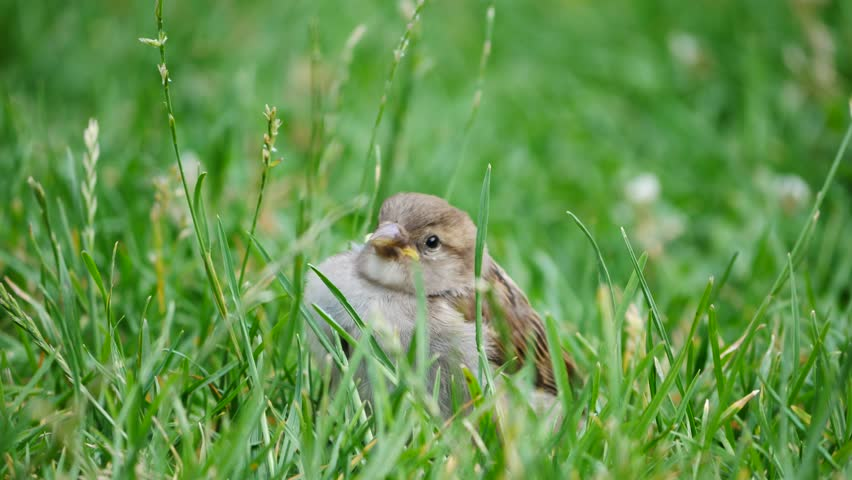 Young sparrow learning to eat plants in a park in Paris, France | Shutterstock HD Video #1012489430