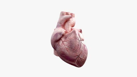 3D animated human heart