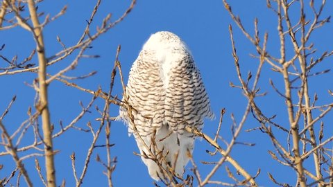 Snowy Owl Bubo Scandiacus facing camera and closing its eyes