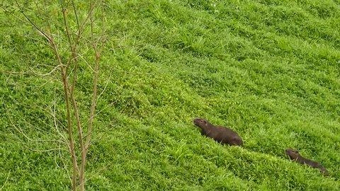 Family of Capybara Hydrochoerus Hydrochaeris walking in thick grass