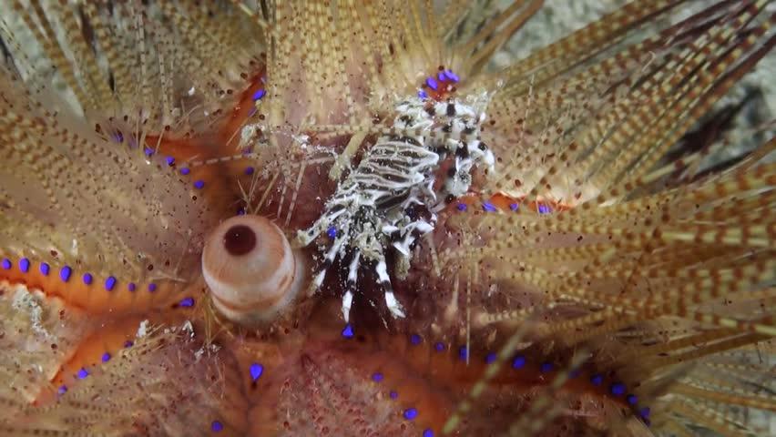 Zebra Crab (Zebrida adamsii) on Moving Fire Urchin (Astropyga radiata) - Philippines