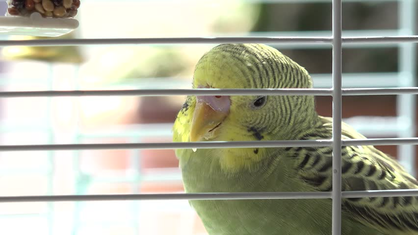 Domestic budgerigars, birds in cages. Green and yellow budgerigar. Bird sounds and pet budgie. | Shutterstock HD Video #1012564460