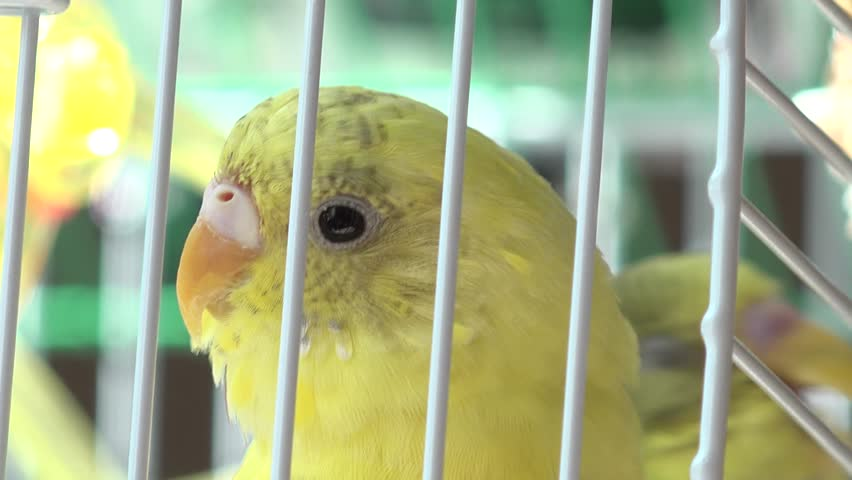 Domestic budgerigars, birds in cages. Green and yellow budgerigar. Bird sounds and pet budgie.