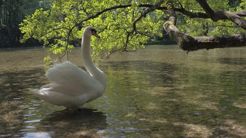 Family of swans go down the river