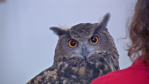 Close up of an owl sitting on a zookeepers shoulder