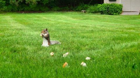Squirrels and Birds eating bread on green grass in the summer, animals eating food in harmony, squirrels running around together, black squirrels and birds eating bread.